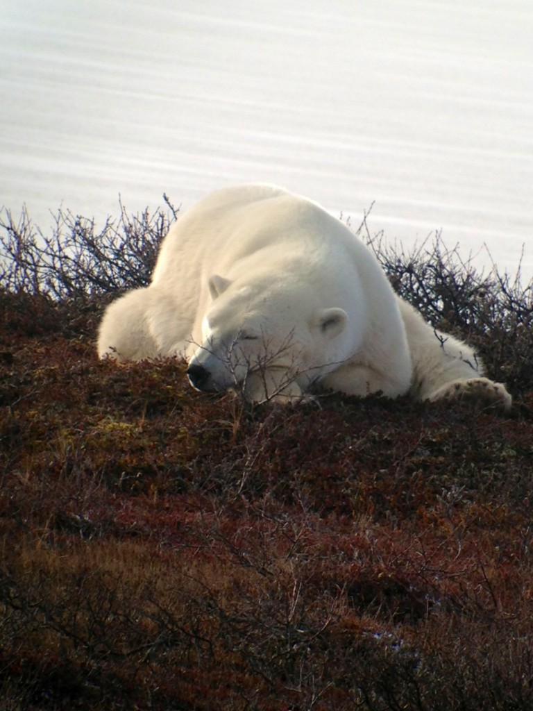 Polar bear in Churchill,MB.