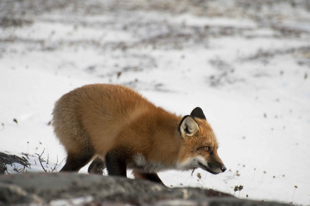 Red fox working the tundra. Colby Brokvist photo.