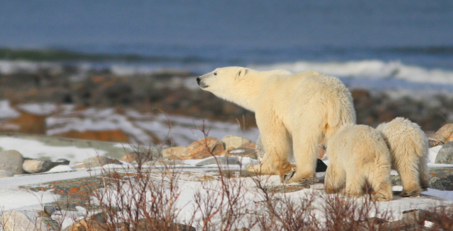 Sow and cubs along the Hudson Bay. Brad Josephs photo.