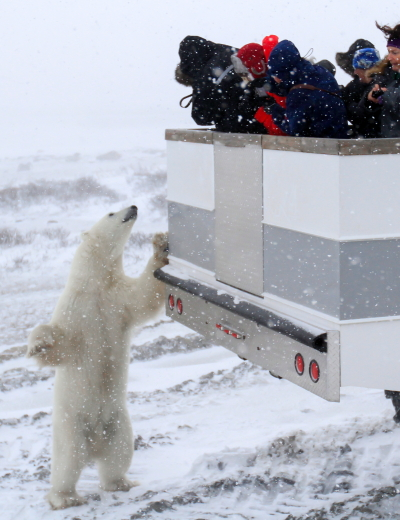 Polar bear checking out the people in a polar rover. Churchill.
