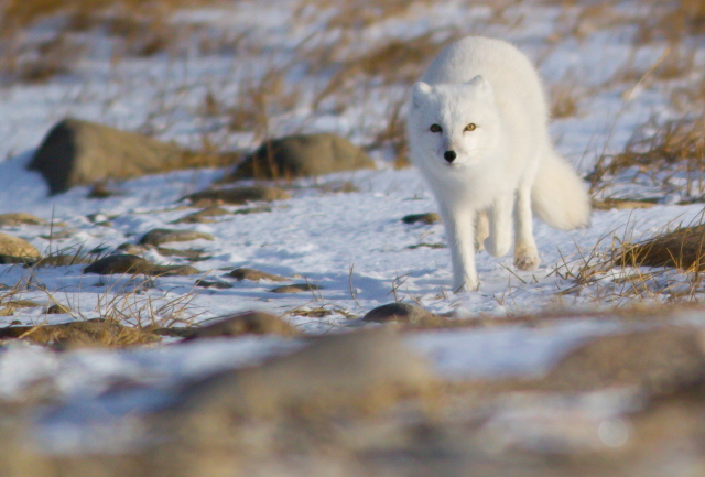 Arctic fox foraging along the tundra in Churchill, Manitoba.