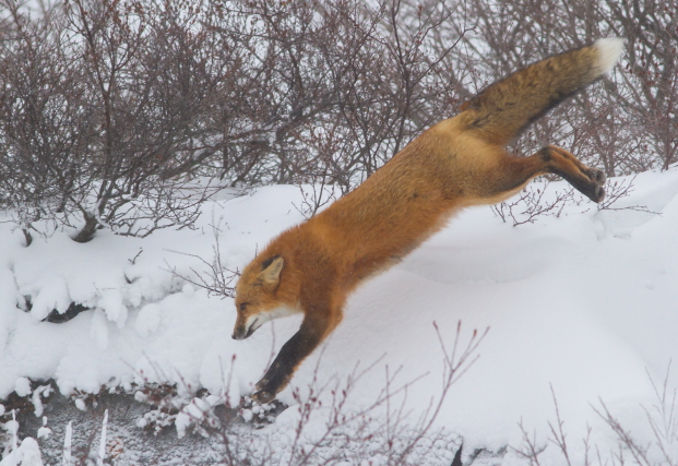 Red fox on the tundra.