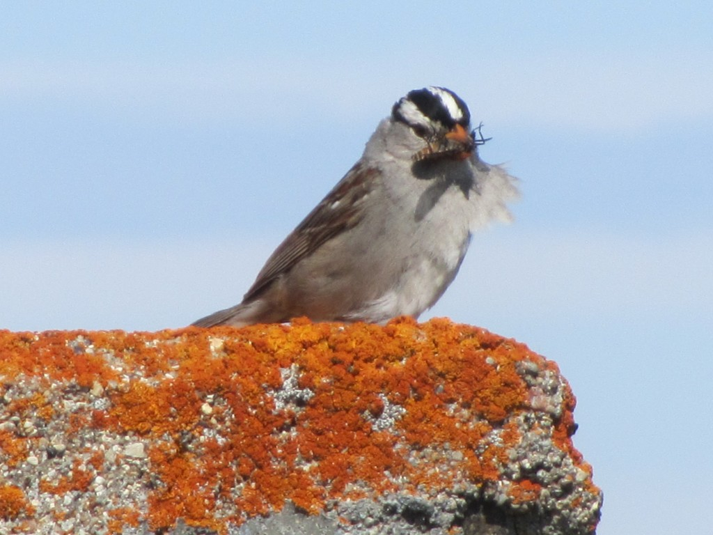 White crowned sparrow on lichen encrusted rock. Stephanie Fernandez photo.