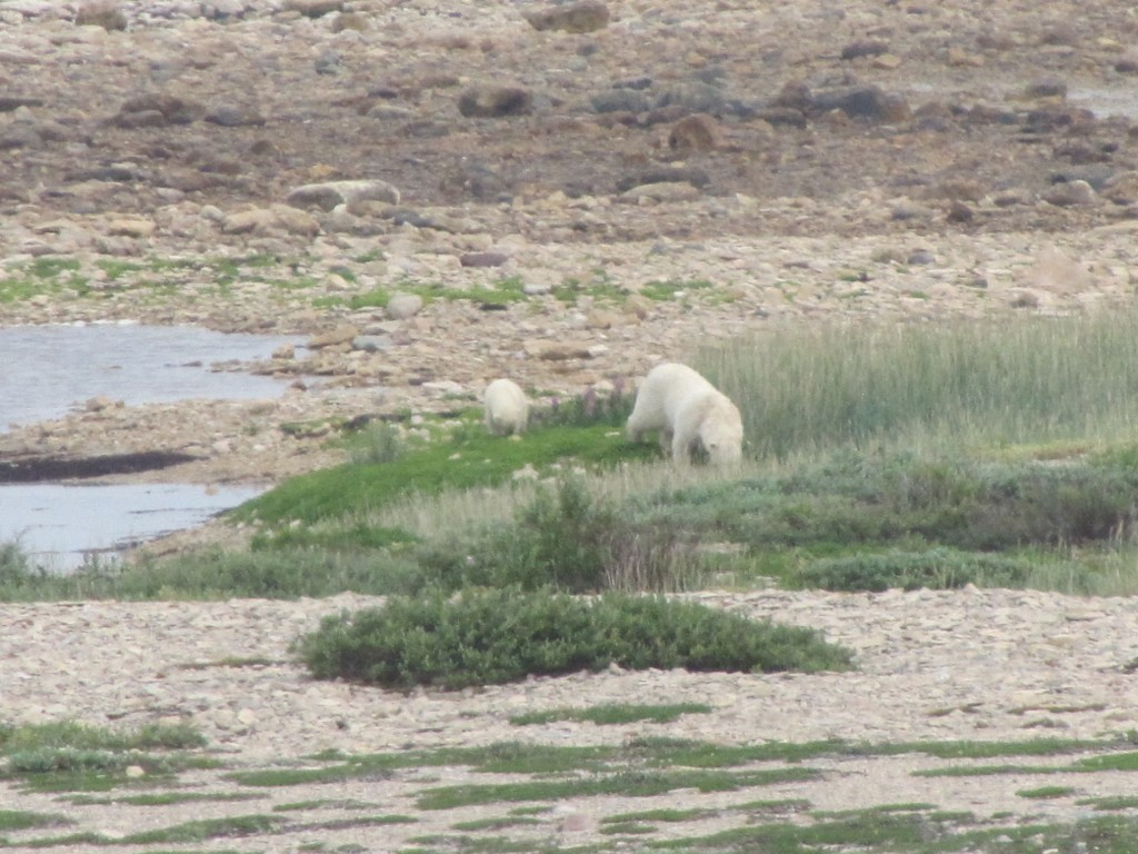 Polar bears on the coast. Stephanie Fernandez photo.