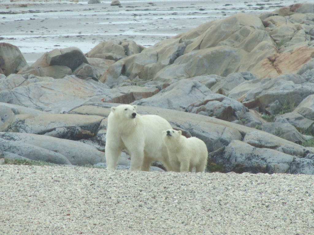 Polar bear sow and cub out near Halfway Point. Stephanie Fernandez photo.