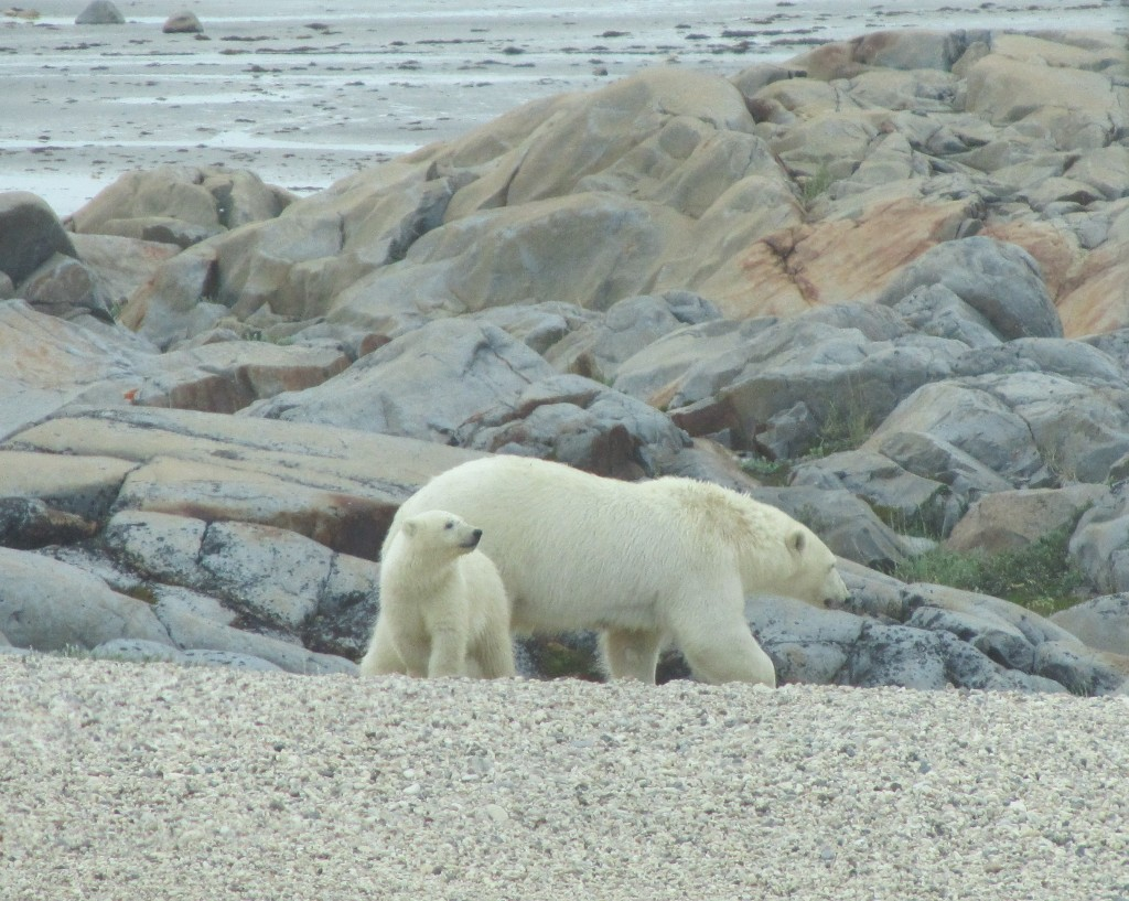 Polar bear sow and cub on the coast. Stephanie Fernandez photo.