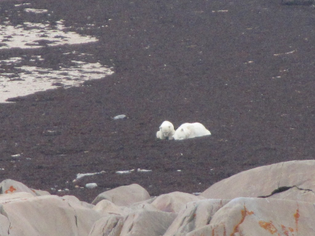 Polar bear sow and cub in the Hudson Bay. Stephanie Fernandez photo.