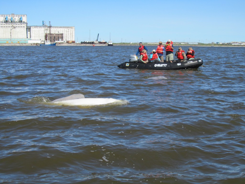 Beluga whales in the Churchill River under the watchful eyes of Natural Habitat travelers.