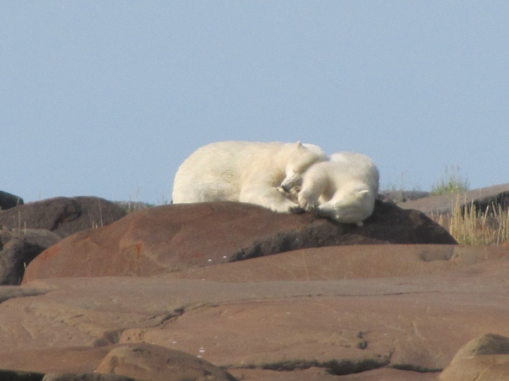 Polar bear mom and cub on the rocks in Churchill, Manitoba.
