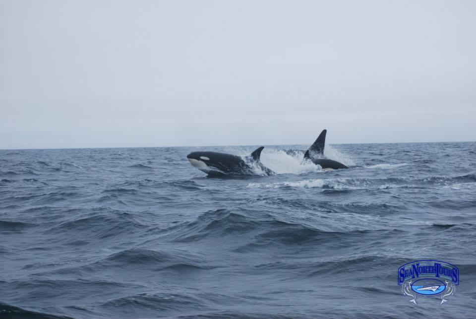 killer whales in the Hudson Bay near Churchill, Manitoba.