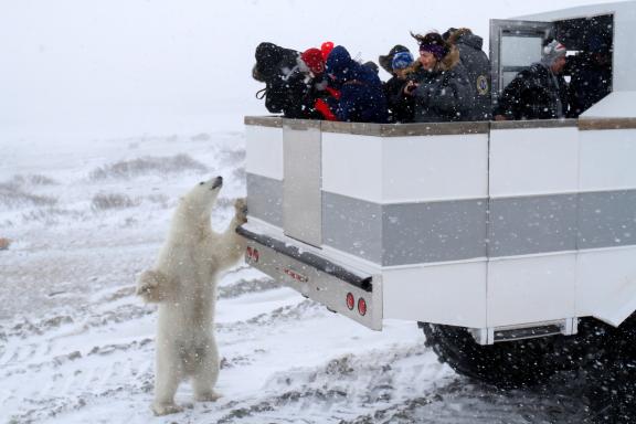 Polar bear on a polar rover in Churchill, MB.