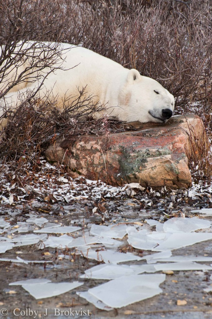 Churchill polar bear resting on a rock.