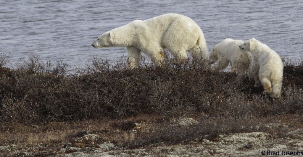 A mother polar bear and her two cubs on the move in order to avoid a male polar bear in Churchill, Manitoba.