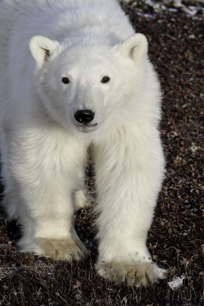 On of the first polar bears of the season sports a frosty white coat in Churchill, Manitoba.