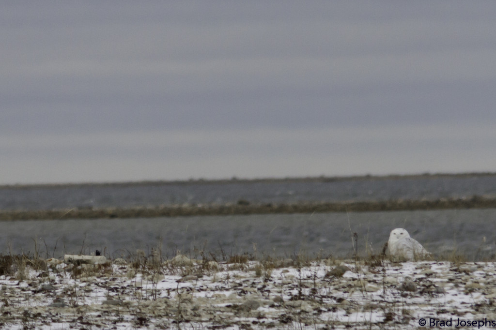 A snowy owl on the coast of the Hudson Bay in the Churchill Wildlife Management Area in Churchill, Manitoba.