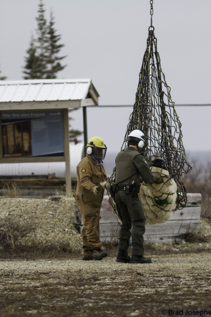 A polar bear lift is prepared by Manitoba Conservation officers in Churchill, Manitoba.