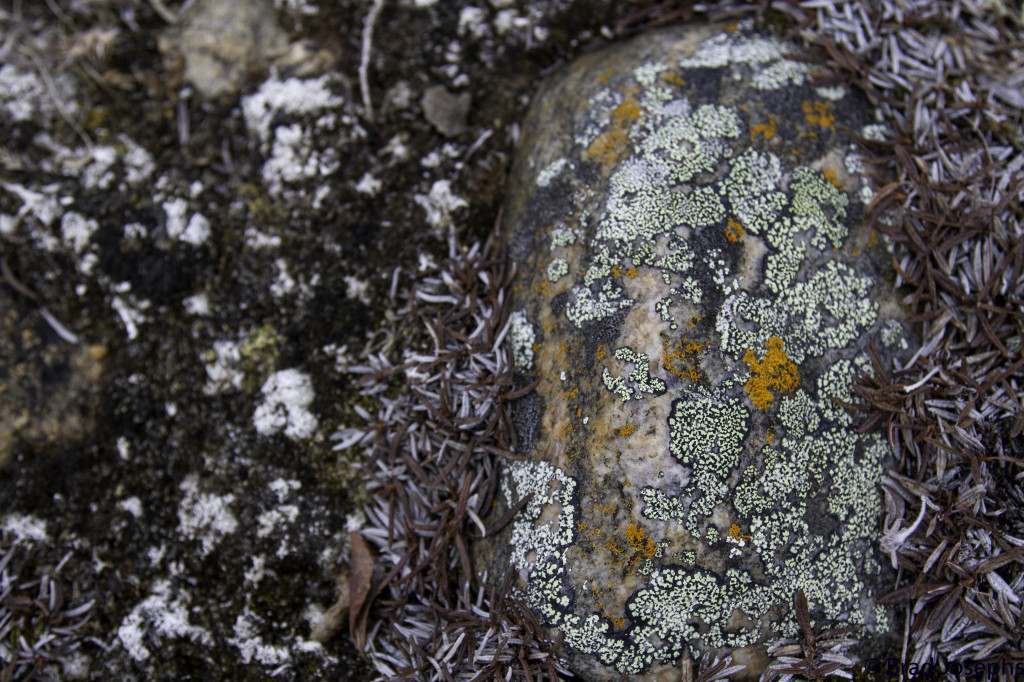 Lichens growing on a rock in the tundra of Churchill, Manitoba.