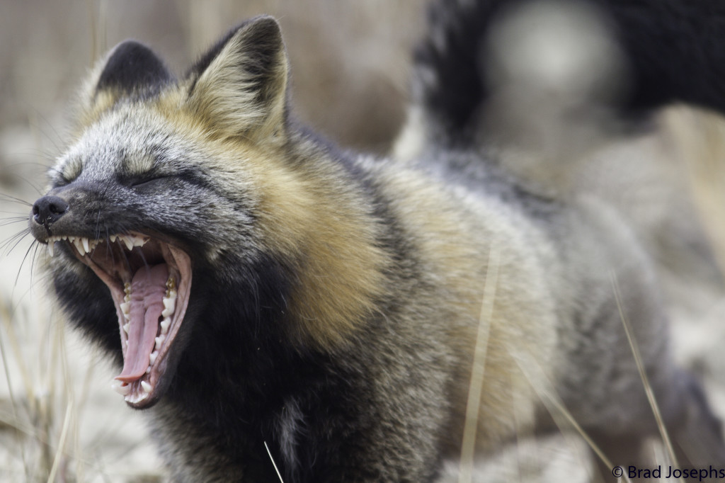 Rde fox showing a bit of stress in Churchill, MAnitoba.