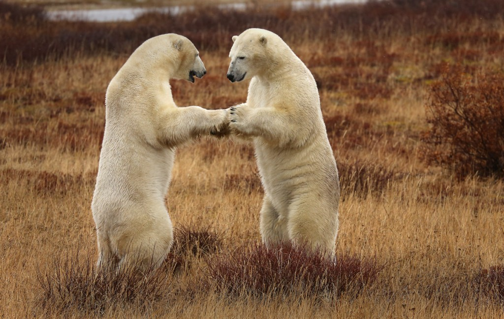Polar bears sparring near the Tundra lodge in the Churchill Wildlife Managemnent Area.