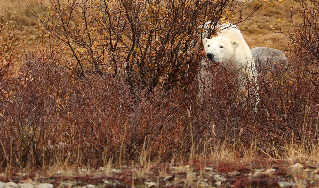 A polar bear lurking in the willows around Churchill, Manitoba.