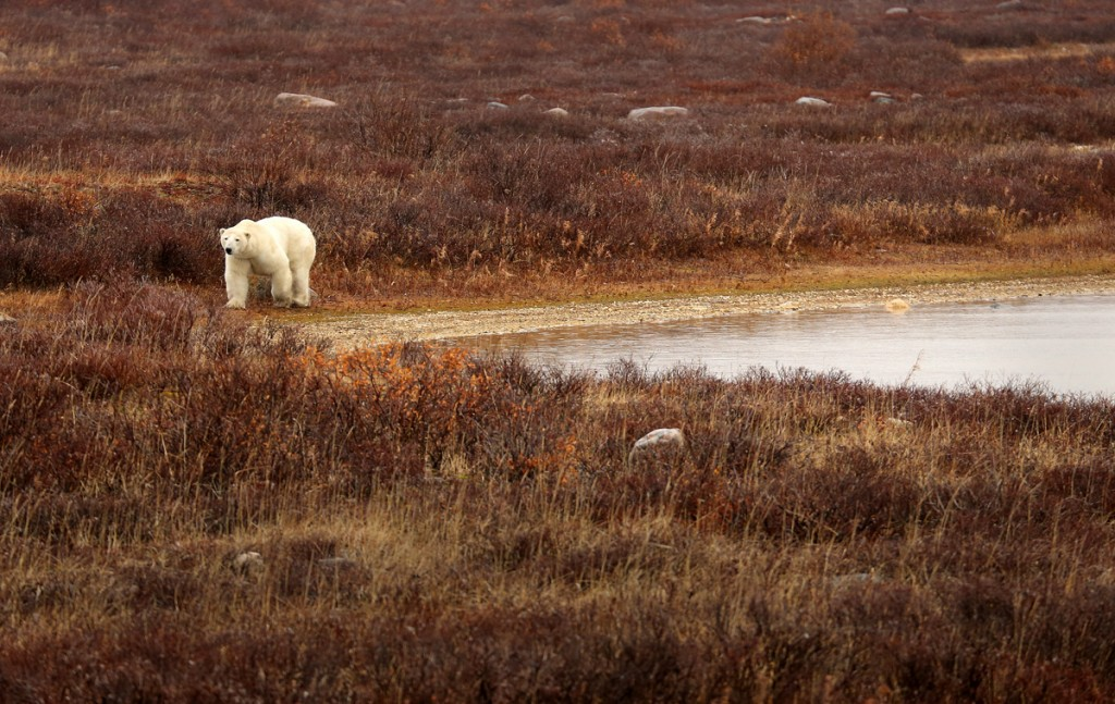 Polar bear by a pond in Churchill, Manitoba.
