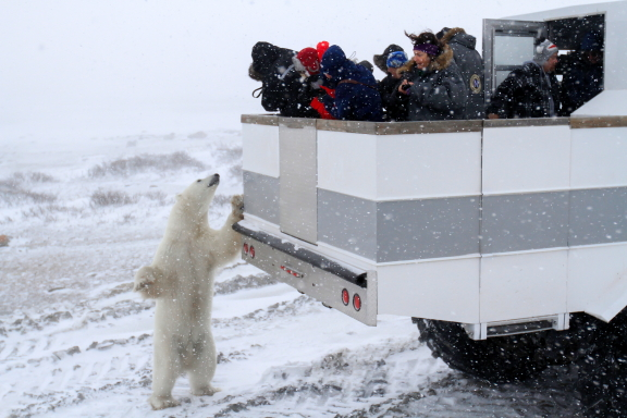 A polar bear checks out travelers on the back of a Polar rover in Churchill, Manitoba.