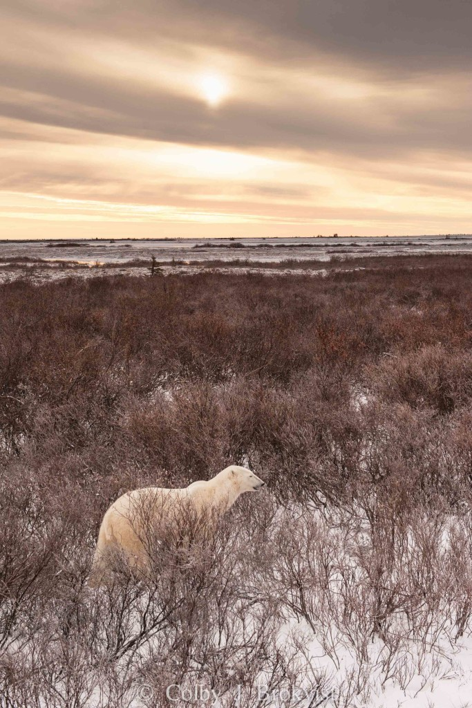 A polar bear roams the land of the Churchill Wildlife Management Area in Churchill, Manitoba.