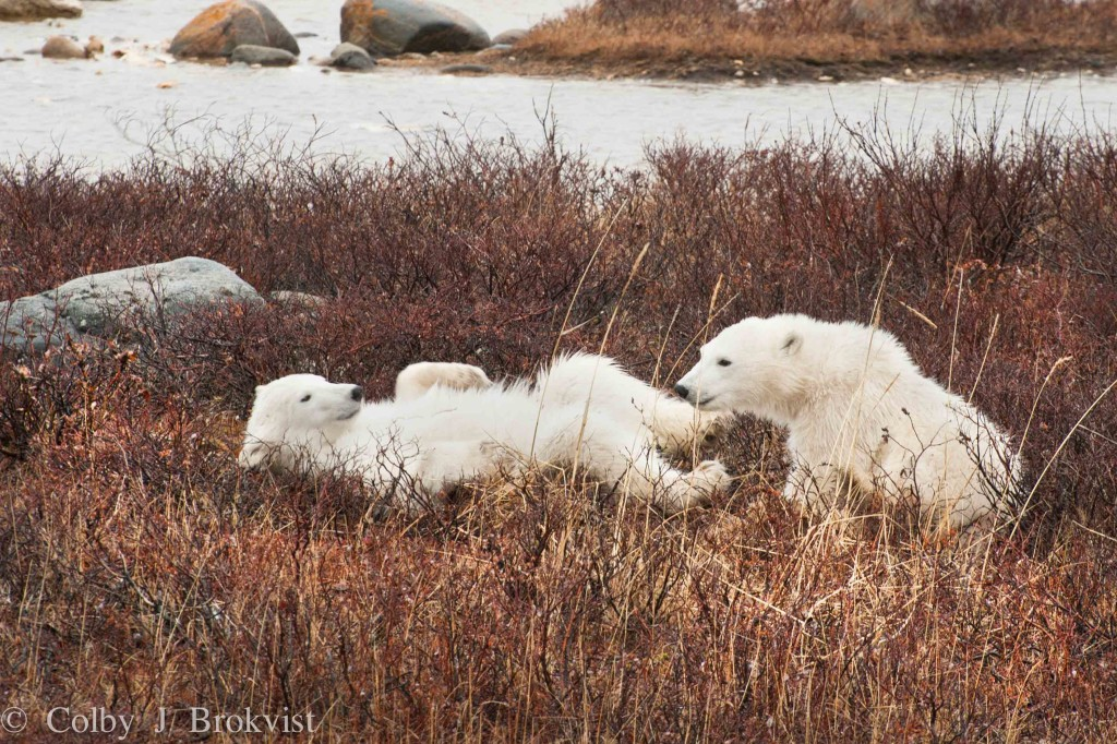 Cubs of the year wrestle in the wilows of Churchill, Manitoba.