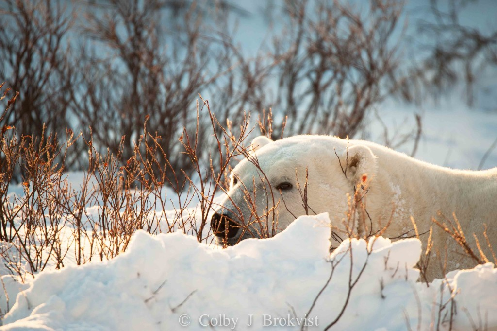 A polar bear rests in the willows in Churchill, Manitoba.