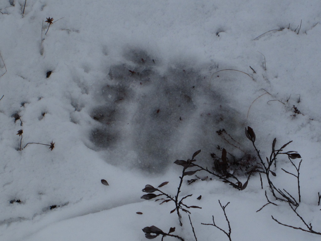 A polar bear print in the soft snow of the Churchill Wildlife Management Area in Churchill, Manitoba.