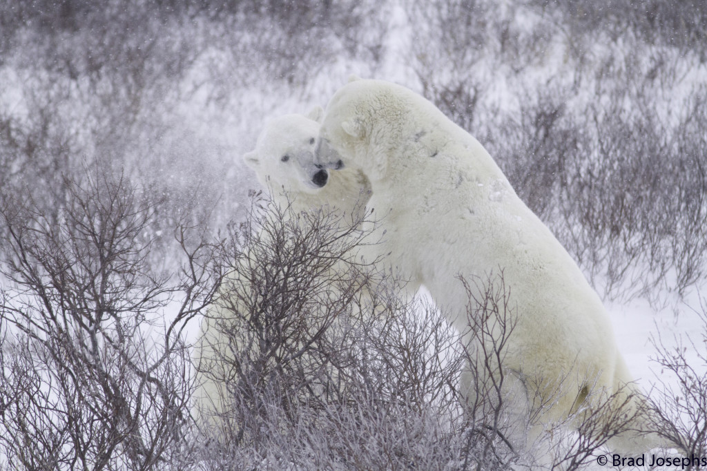 Polar bears sparring in the snow and willows in the Churchill Wildlife Management Area.