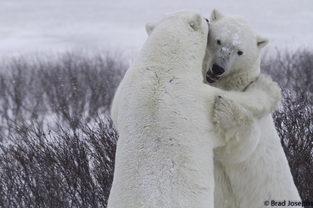 Polar bears spar in the Churchill Wildlife Management Area.