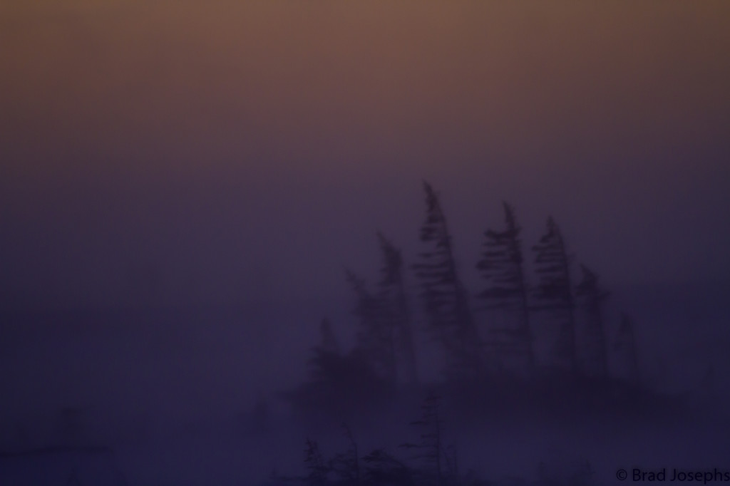Spruce trees in the snowy storm in Churchill, Manitoba.