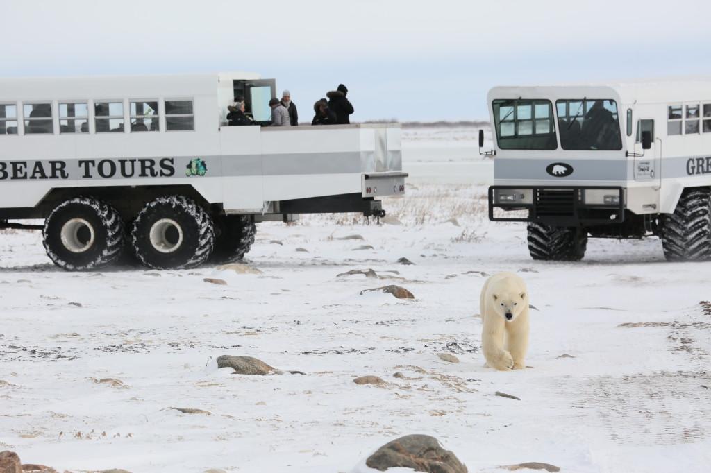 A polar bear walks between two polar rovers in Churchill, Manitoba.