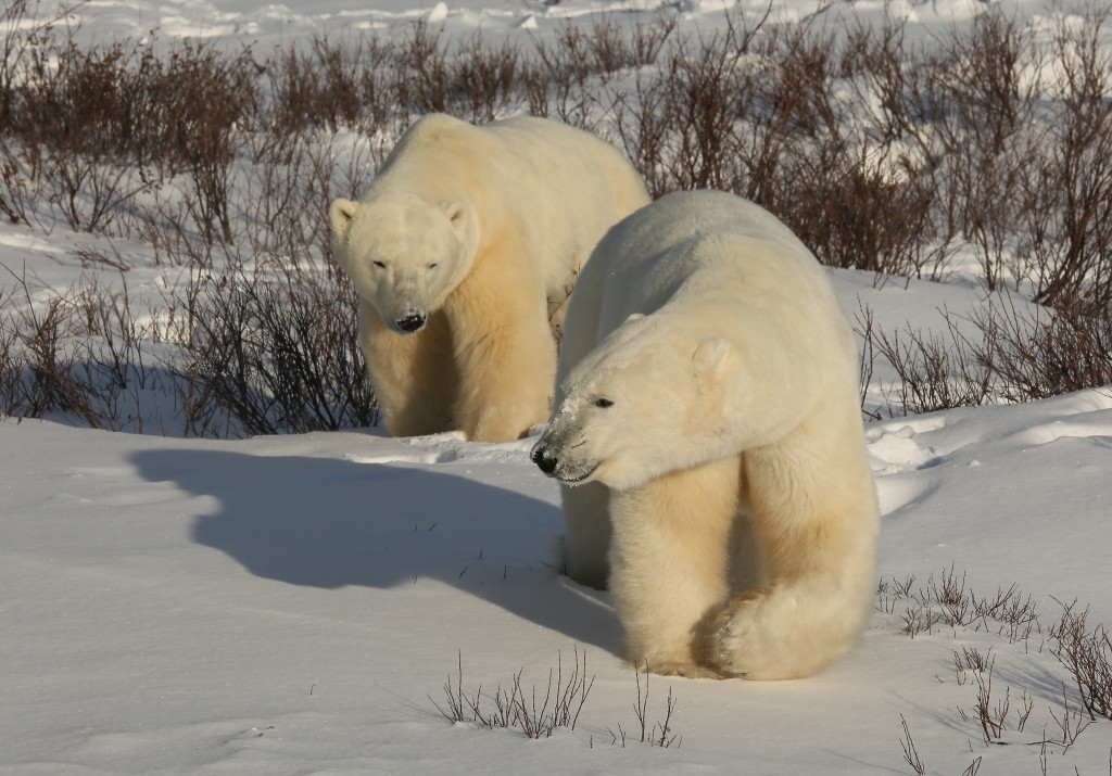 Polar bears Churchill, MB