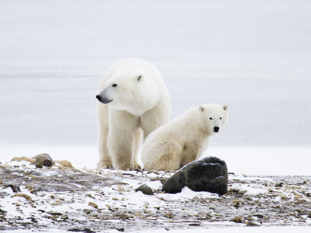 A polar bear mother and cub of the year wander the tundra in Churchill, Manitoba.