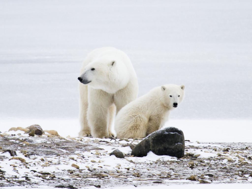 Mother and cub polar bear on the tundra of Churchill, Manitoba.