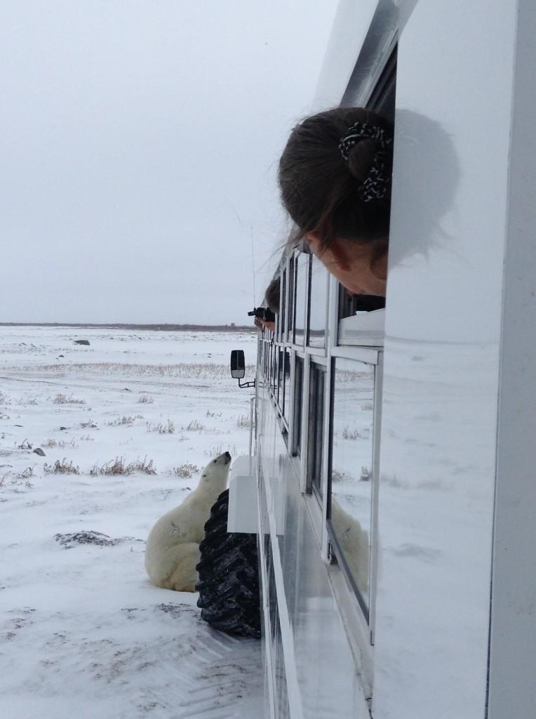 A curious polar bear checks out a Polar rover in Churchill, Manitoba.