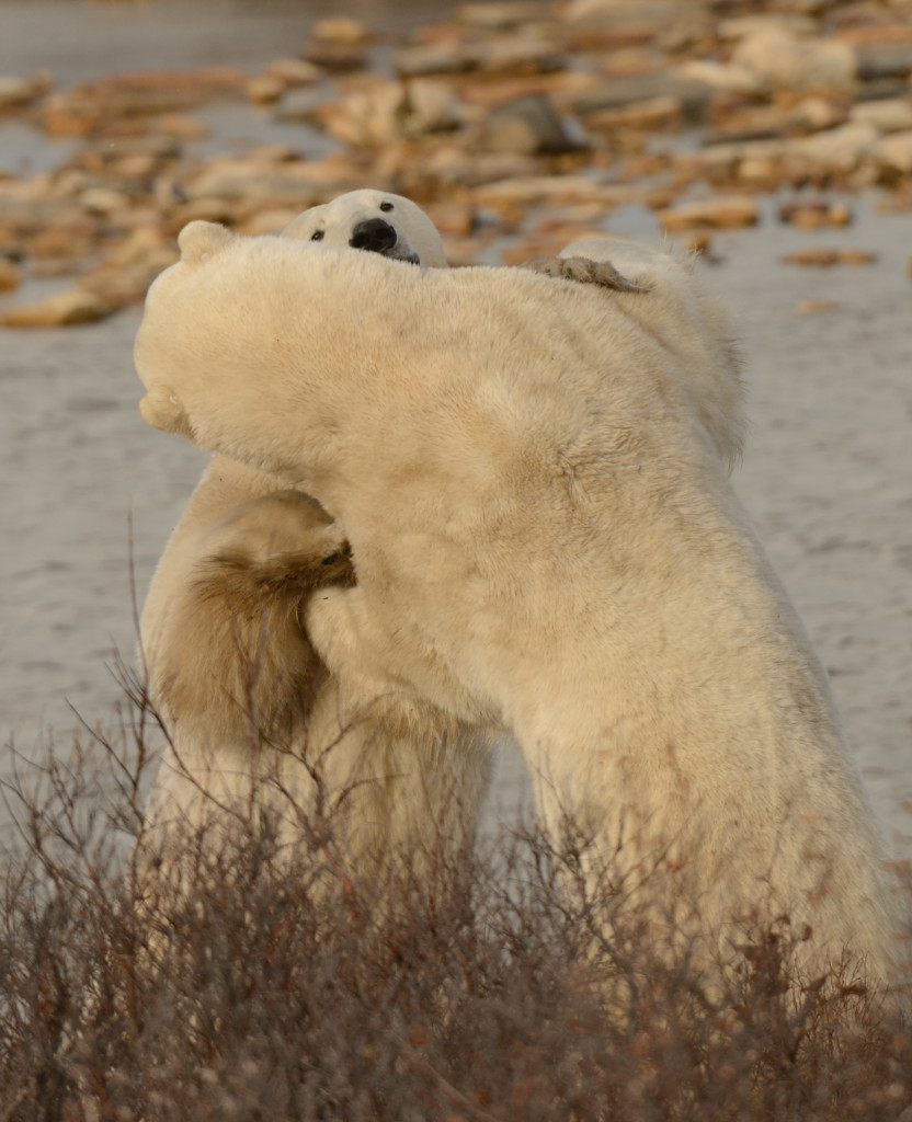 Two polar bears sparring in the Churchill Wildlife Management Area in Churchill, Manitoba.