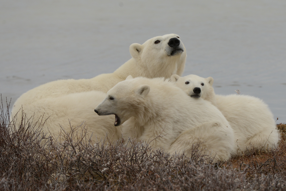 A polar bear family waiting out the fall by the Hudson Bay coast in Churchill Wildlife Management Area in Churchill, Manitoba.