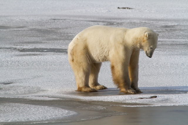 Polar bear testing the frozen surface of the hudson Bay in Churchill, Manitoba.