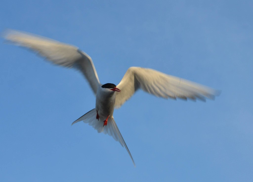 Arctic tern in Churchill,MB.