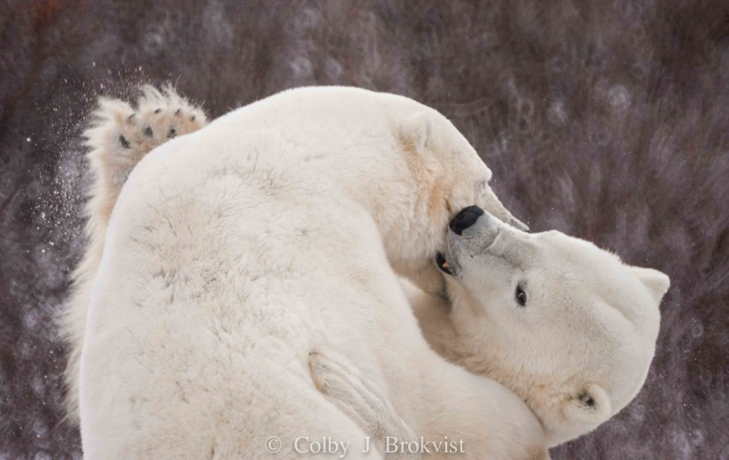 polar bears sparring near Churchill, Manitoba.