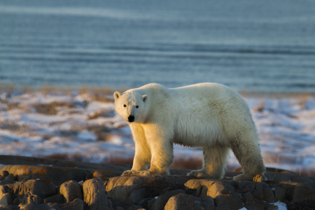 A polar bear in Churchill , Manitoba on the coast.