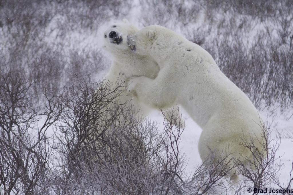 Polar bears sparring in Churchill, Manitoba.