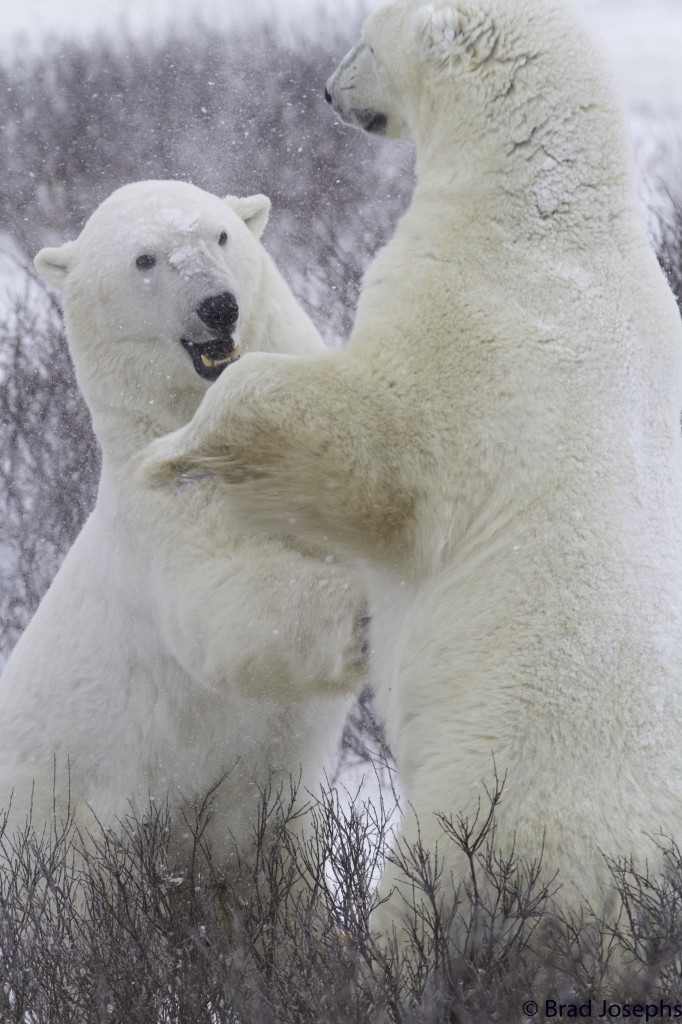 Polar bears get at each other in the willows with some sparring activity. Churchill, Manitoba.