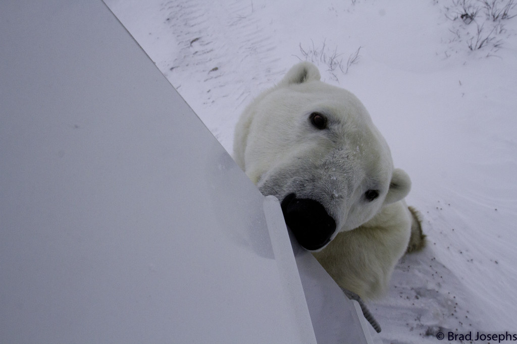 Polar bear in Churchill, Manitoba sniffing around the polar rover.