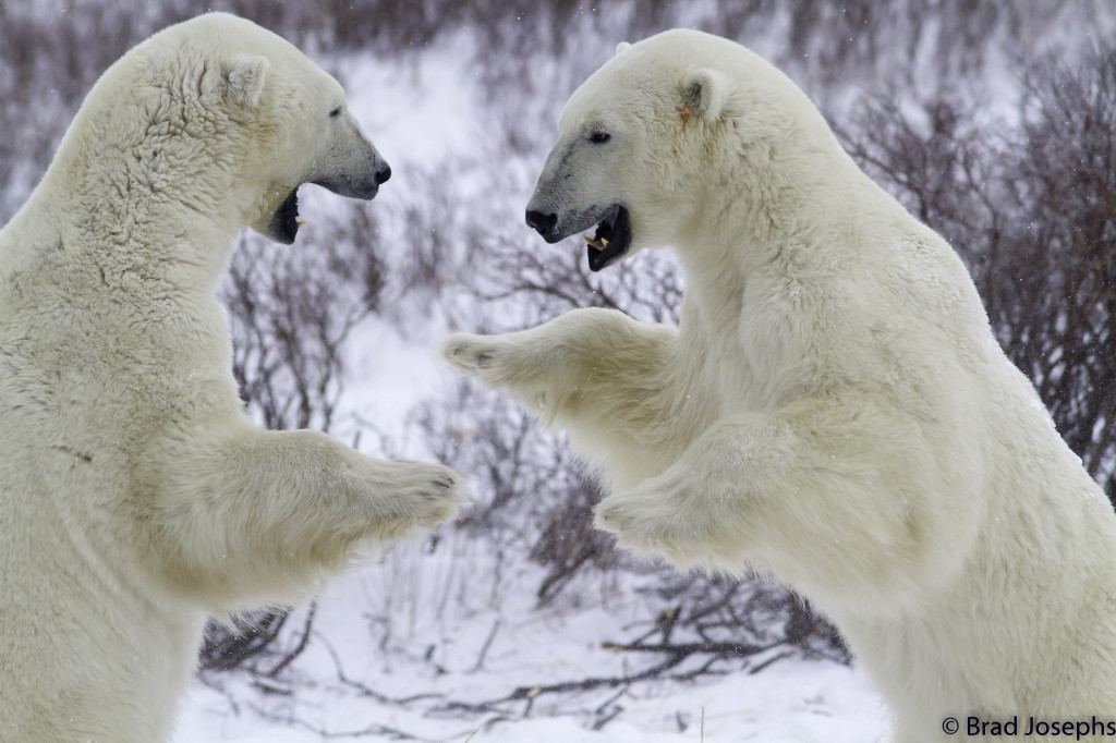 Sparring polar bears on the Churchill, Manitoba tundra.
