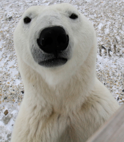 Polar bear at a polar rover in Churchill, Manitoba.