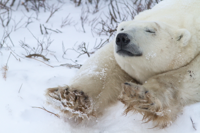 Polar bear cooling off in Churchill, Manitoba.